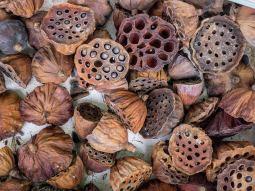 Dried Lotus Flowers