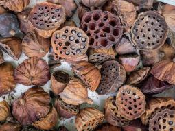 Dried Lotus Flowers