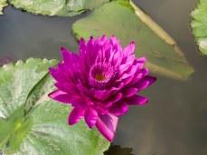 Fuchsia Lotus Flower