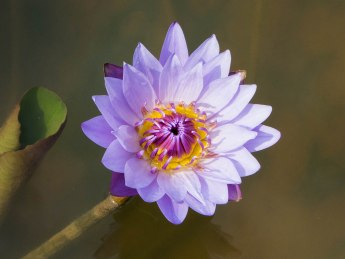 Lavender Lotus Flower